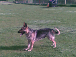 Dog Breeding - Milton Keynes, Buckinghamshire - Villiers Farm Kennels & Cattery - vill3